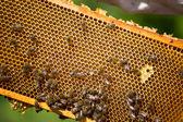 пчелы на мед клетки — Стоковое фото