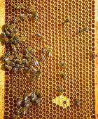 Včely na med buňky — Stock fotografie
