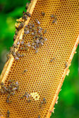 Bees on honey cells — Stock Photo