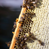 Bees on honey cells — Stock fotografie
