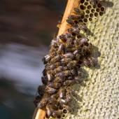 Bin på honung celler — Stockfoto