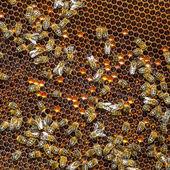 Abejas en las células de la miel — Foto de Stock