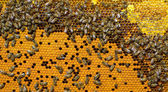 Honey comb and   bees — Stock Photo