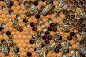 Včely a med hřeben — Stock fotografie