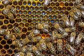 Pracovní včely na plástve — Stock fotografie