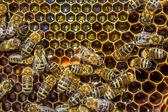 Miel de abejas ocupadas produciendo — Foto de Stock