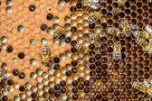 Miel de abejas productoras — Foto de Stock