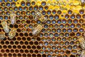 Miód lipowy i pszczoła pracy — Zdjęcie stockowe
