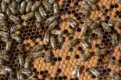 Las abejas y panal de miel — Foto de Stock