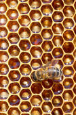 Working bee on honey cells — Stock fotografie