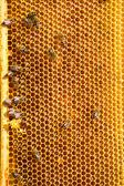 Trabalho de abelhas no favo de mel — Fotografia Stock