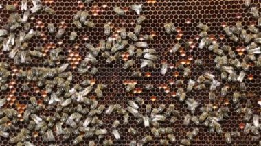 Bees working on   cells — Vídeo de Stock