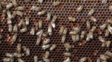 Bees working on honey cells — Stock Video