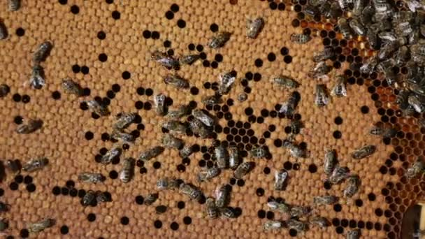 Bee honeycombs filled with honey — Vidéo
