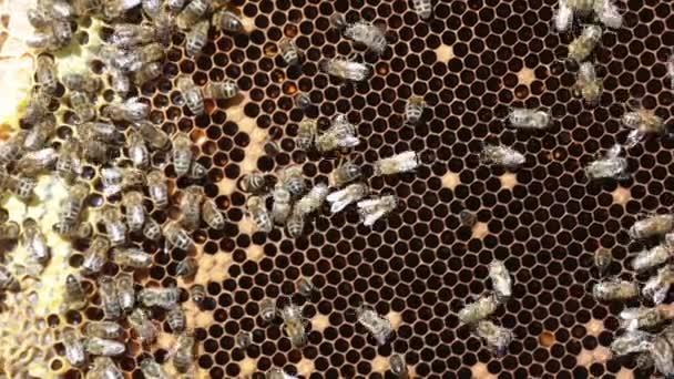 Travail des abeilles sur honeycells — Vidéo