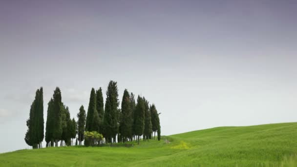 Cypresses in  field, Tuscany — Vidéo