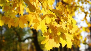 Autumn bright yellow leaves — Stock Video