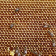 Bees work on honeycomb — Stock Video #63825289