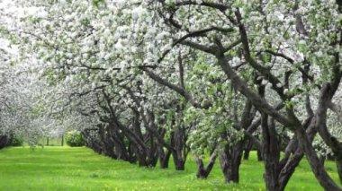 Blossoming apple tree garden — Stock Video