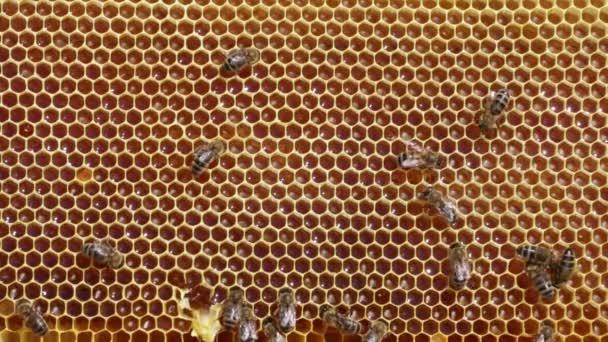 Abeilles travaillent sous honeycomb — Vidéo