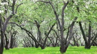 Apple-tree garden — Stock Video