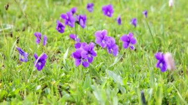 Mountain violets on grass — Stock Video