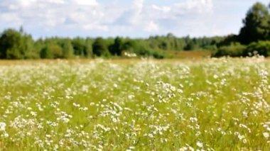 Kvetoucí camomiles pole — Stock video