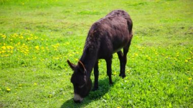 Donkey on the grass medow — Stock Video