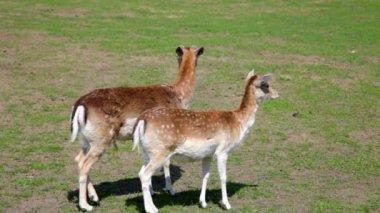 Two spotty deer — Stock Video