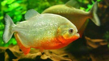 Tropical big fishes — Vídeo de stock