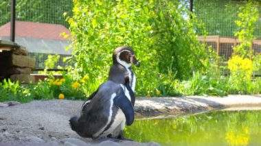 Two  pinguin in a zoo — Stock Video