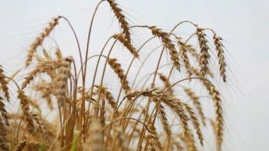 Ripe wheat ears — Stock Video