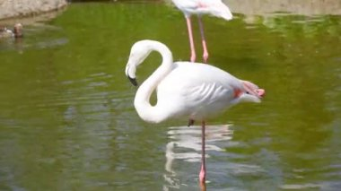 White flamingos on a water — Stock Video