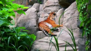 The Bengal tiger on rocks — Stock Video