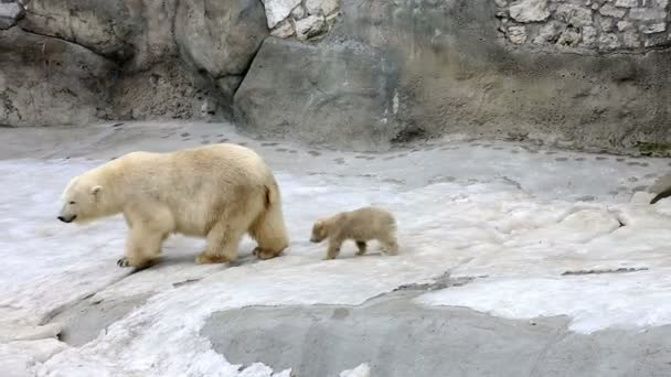 White polar bear with baby — Vídeo de stock