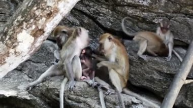Family of funny monkeys — 图库视频影像