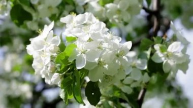 Blossoming apple tree — Stock Video