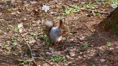 Squirrel eating nut — Stock Video