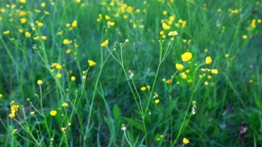 Лютик, цветущий луг — Стоковое видео