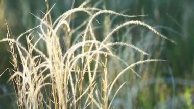 Dry Spear grass — Stock Video
