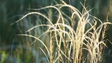 Dry Spear grass — Stock Video