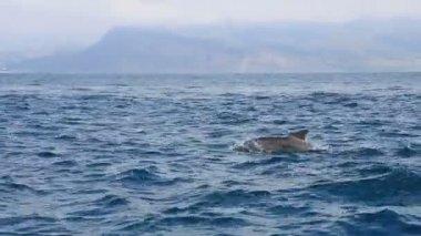 Atlantic Bottlenose Dolphins — Stock Video