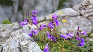 Lilac bells - lat. Campanula alpina — Stock Video