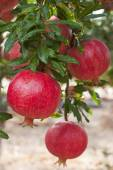 Ripe pomegranate fruit — Stock Photo