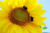 Bumblebees on a yellow sunflower — Stock Photo