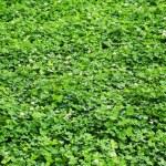 trèfle vert sur la pelouse — Photo #52406775