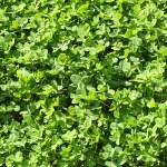 trèfle vert — Photo #54755341