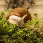 Albino snail — Stock Photo #60816741