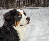 Mountain dog portrait — Stock Photo