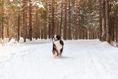 Mountain dog — Stock Photo